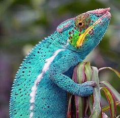 Robin Egg Blue - chameleon