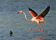greater flamingo - Bing images