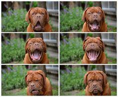 dogue de bordeaux  dog Here is grumpy dog