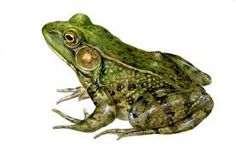 The frog is the totem of metamorphosis. It symbolizes coming into your personal power. It reminds us not to become bogged down with day-to-day living.  It is the totem of water.   People with frog medicine give support and energy where it is needed. They can cleanse the negativity from an environment.