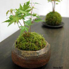 Rakuten moss ball foliage Kodama mountain maple natural Haigoke bonsai farm direct green foliage houseplants moss ball Kokedama Kokedama mini bonsai mossboll: Rocca-clann