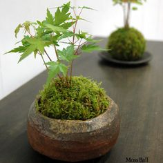 Rakuten moss ball foliage Kodama mountain maple natural Haigoke bonsai farm direct green foliage houseplants moss ball Kokedama Kokedama mini bonsai mossboll: Rocca-clann