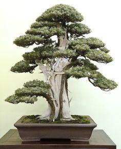 Juniperus rigida-Needle juniper