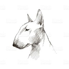 Vector sketch of Bull terrier dog head isolated on white. royalty-free stock vector art