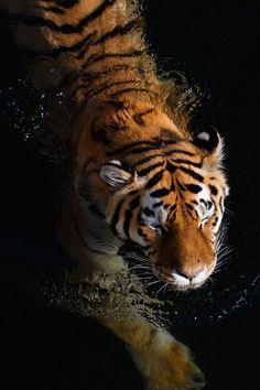 Siberian tiger at Prague Zoo Tatoo Tiger, Bengalischer Tiger, Tiger Love, Bengal Tiger, Tiger Cubs, Bear Cubs, Beautiful Creatures, Animals Beautiful, Animals And Pets