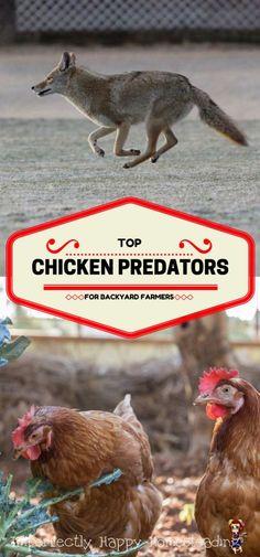 Top Chicken Predator for Backyard Homesteaders and Farmers.