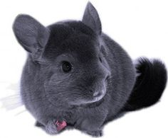 Best Quality, Original and Unique Chinchilla Care Private Label Rights Articles. Chinchilla Care PLR Articles With Private Label Rights. Hamsters, Rodents, Animals And Pets, Baby Animals, Cute Animals, Orcas, Chinchilla Cute, Rabbit Habitat, Pet Treats
