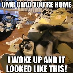 Wonderful All About The Siberian Husky Ideas. Prodigious All About The Siberian Husky Ideas. Funny Husky Meme, Dog Quotes Funny, Funny Animal Jokes, Cute Funny Animals, Funny Animal Pictures, Animal Memes, Funny Dogs, Cute Dogs, Dog Pictures