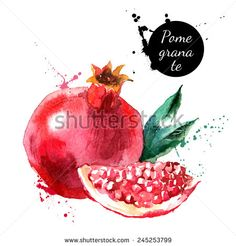 Hand drawn watercolor painting on white background. Vector illustration of fruit pomegranate