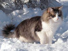 Le Skogkatt - Chats des Forêts Norvégiennes - NFO - Les couleurs - Bleu mackerel et blanc Kittens Cutest, Cats And Kittens, Siberian Cat, Snow Dogs, Norwegian Forest Cat, Cat Behavior, Maine Coon Cats, Warrior Cats, Domestic Cat