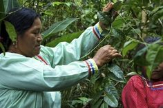 Harvesting The Plant | Giving Back: Runa Amazonian Energy Drinks | FATHOM Travel Blog and Travel Guides