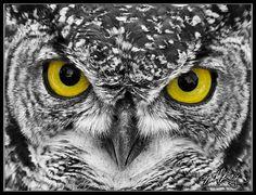 Eagle Owl by mitchellkrog.deviantart.com on @deviantART