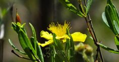 Having too many seeds makes it hard to choose which one to show/write about. I am going the easy way with the last species uploaded to the shop – the Kalm's St. John's wort, a (sub)shrub nati…