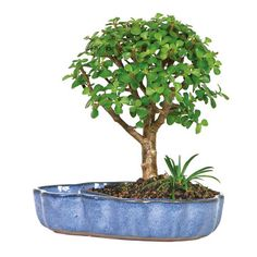Dwarf Jade In Water Pot, $36, now featured on Fab.