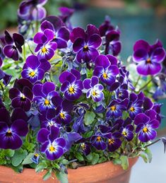 Flowering right the way through from December to April, this highly scented variety is my favourite pretty and delicate winter and spring flowering viola for a window ledge or outdoor doorstep pots. Perennial Bulbs, Hardy Perennials, Home Flowers, Spring Flowers, Winter Flowers, Fleur Pansy, Winter Window Boxes, Biennial Plants, Plant Delivery