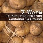7 Ways To Plant Potatoes In Container Or Ground Potato Gardening, Planting Potatoes, Container Plants, Container Gardening, Potato Barrel, Vines, Vegetables, Ethnic Recipes, Sweet