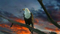 30 Magnificent Free Eagle Wallpaper Collections | Naldz Graphics