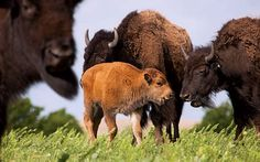 Bison at Tallgrass Prairie Preserve. Photo by Morgan Heim.