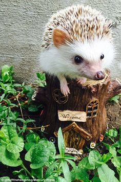 Huff the hedgehog becomes Instagram star thanks to his 'vampire fangs' | Daily Mail Online