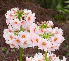 Primula japonica Apple Blossom -  Primula (polyanthus type) - Primrose - Part shade to full shade