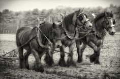 Nothing like a Belgian draft horse to get the work done
