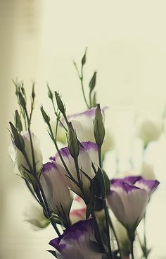 Lisianthus  (Eustoma) – Popular flowers which open from tightly swirled buds, bi-coloured varieties also available