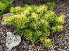 Pinus contorta 'Golden Stryker'