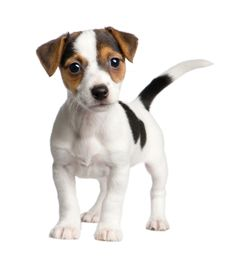 Jack Russell pup. So sweet!