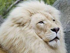 ANIMALS TIME : White lion time (Hora del leon blanco)