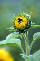 Sich öffnende Knospe einer Sonnenblume