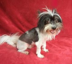 Pepe Le Pew- 6 lbs is an adoptable Shih Tzu Dog in Monroe, NC. Hi! My name is Pepe Le Pew and I'm a 2 1/2 year old Shih Tzu/Maltese mix who is only 6 lbs. I had been shaved down prior to my neuter due...