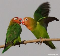 Lilians Lovebird | World Parrot Trust