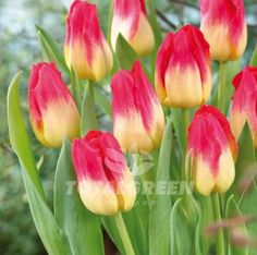 This amazing tulip gives an amazing show with its red and yellow petals. It creates a warm and friendly environment in your spring garden. Variety Triumph Tulip Flower Period Mid Spring Flowering Heig