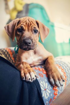 Rhodesian Ridgeback Puppy ****Tank must have looked like this !~!