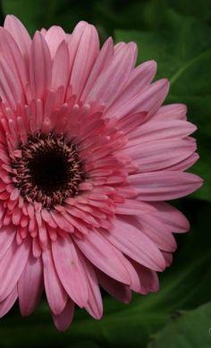 Gerbera- my favorite flower! Beautiful Flowers Garden, Love Flowers, Fresh Flowers, Summer Garden, Home And Garden, Affordable Wedding Flowers, Blooming Flowers, Amazing Photography, Flower Arrangements