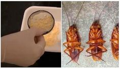 No quedará ni una sola cucaracha viva con solo utilizar estos ingredientes caseros.