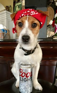 Zoe the jack russell