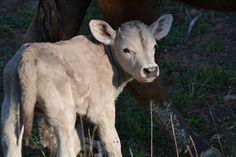 Charolangus calf