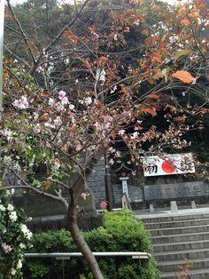 Now blooming. Winter Sakura @Yuri A Hie Shrine.