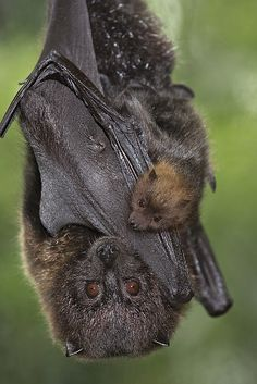 Rodrigues Fruit Bat    Hangin' with Mom | Flickr - Photo Sharing!