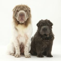 Bearcoat Shar Pei Mother, with Her Blue Bearcoat Puppy, 13 Weeks