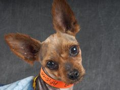 Petango.com – Meet Deni, a 7 years 4 months Terrier, Yorkshire available for adoption in COLORADO SPRINGS, CO