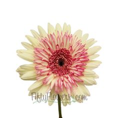 FiftyFlowers.com - White and Pink Super Gerber Daisy Flower