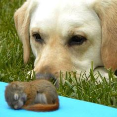 This baby squirrel was found in a backyard with no mother in sight, but he soon found a new friend.  After a few hours of playing together, Millie the dog stood guard over her squirrel as he napped.