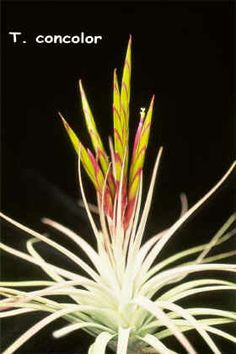 T. concolor