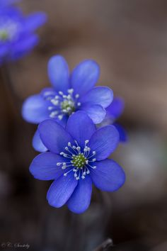 Anemone Hepatica | by Cecille Sonsteby