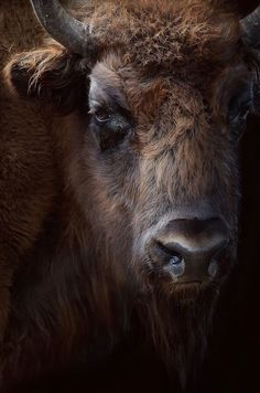 The OriginalGodDamn Jack American Bison, American Indian Art, Wild Creatures, Woodland Creatures, Animal Bufalo, Farm Animals, Cute Animals, Wild Animals, Buffalo Animal