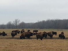 Oneida Indian Reservation,  Wisconsin - Bison Herd (by Madsteampunkery)