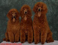 My favourites - Standard Red poodles Red Poodles, French Poodles, Standard Poodles, Poodle Puppies For Sale, Poodle Mix, Small Poodle, French Dogs, Poodle Grooming, Best Dog Breeds