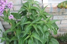 Can anyone identify this plant. Common consensus says coneflowers ~ thought it was a weed, think I've torn out several from the yard...takes two years to bloom.